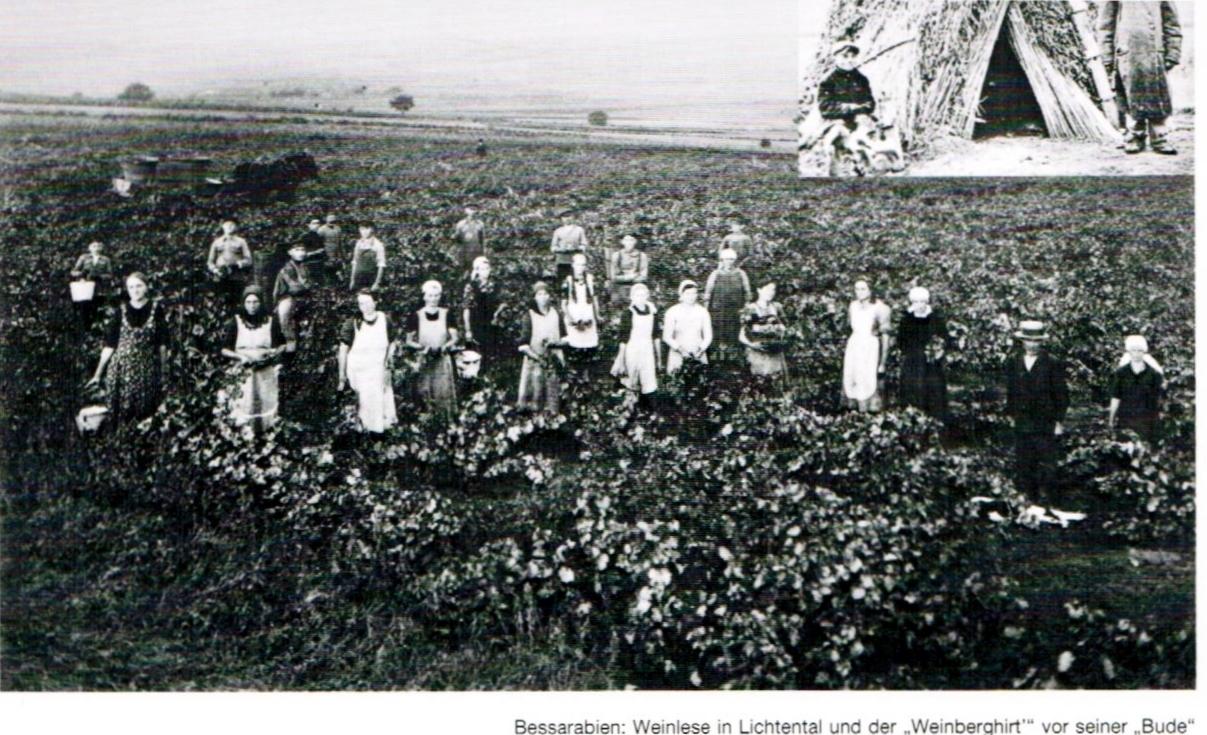Frauenarbeit im Weinberg